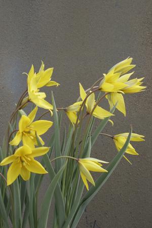 Tulipa sylvestris ssp. australis  1st.