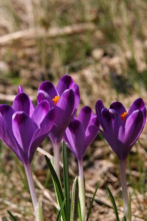 Crocus vernus 'Michael's Purple'  1st.