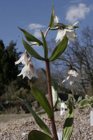 Fritillaria bucharica  1st. SLUT