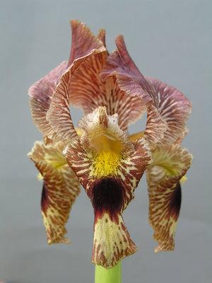 Iris sari BATMAN 04-251A 1 st.