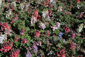 Corydalis 'Mixed Colours'  5 st