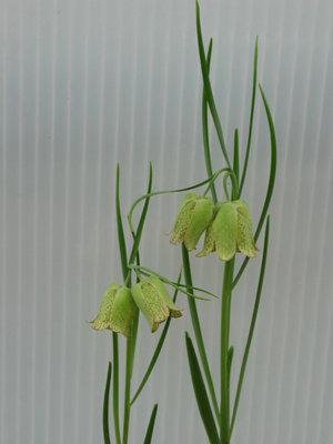 Fritillaria whittallii 'Greenlight'  1st. SLUT