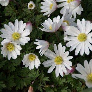 Anemone blanda 'White Splendour'  10st.