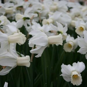Narcissus 'Emcys' 3 st.