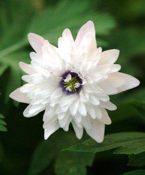 Anemone nemorosa 'Blue Eyes' 1st.