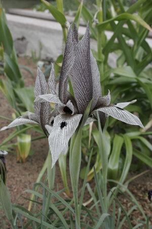 Iris acutiloba ssp. lineolata Klon 09-115A 1 st.