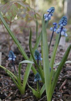 Bellevalia forniculata  1st.