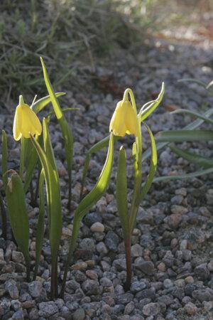 Fritillaria pudica 'Giant' 1st.