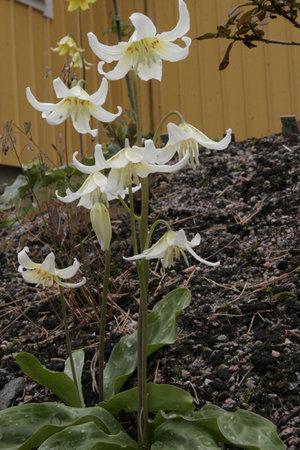 Erythronium 'White Beauty' 1st.
