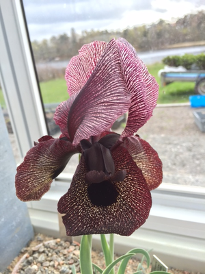 Iris iberica ssp. lycotis 1st.