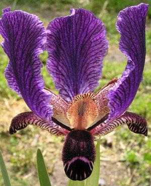 Iris paradoxa 09-91 1st.