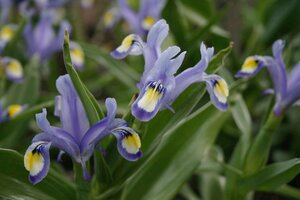 Iris warleyensis x willmottiana 'Lazuline' 1st.