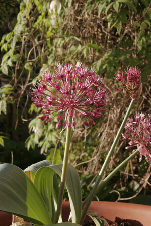 Allium karataviense ssp. henrikii  1st.
