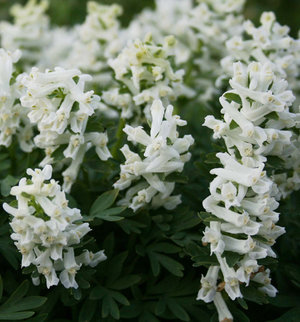 Corydalis solida 'White Knight'  1st.