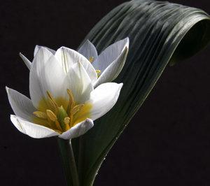 Tulipa regelii  1st.  SLUT