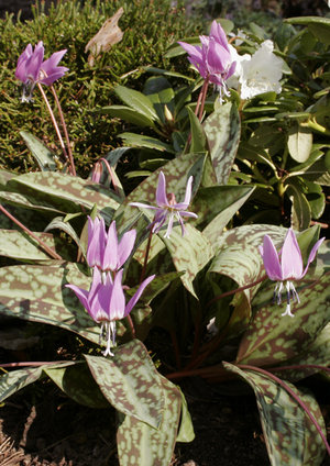 Erythronium dens-canis 'Purple King' 1st.