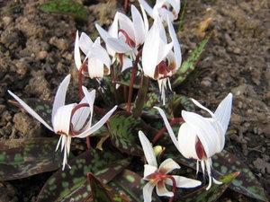 Erythronium dens-canis 'Snowflake' 1st.