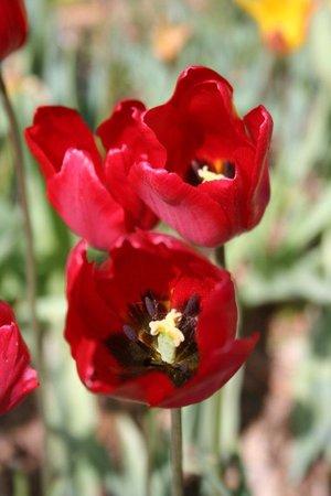 Tulipa sarracenica 1st.