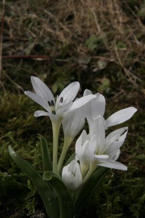 Colchicum hungaricum 'Velebit Star'  1st.