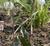 Erythronium oregonum 1st.