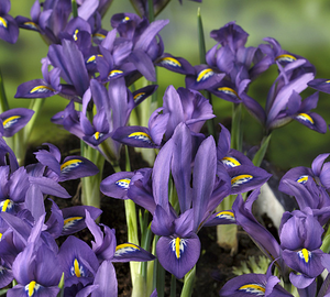 Iris 'Scent-sational'  3st.