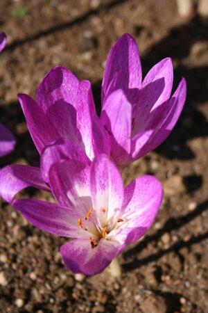 Colchicum bivonae 'Glory of Heemstede'  1st. SLUT